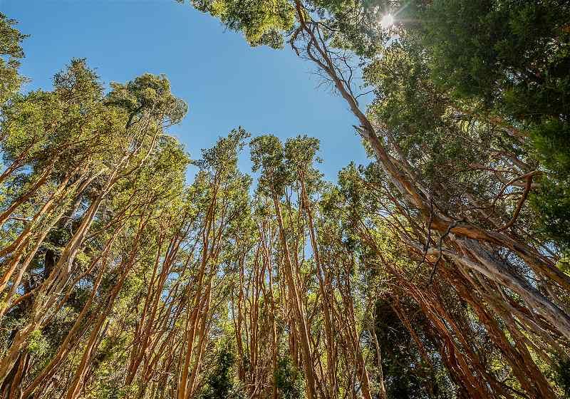 vista do topo das árvores arrayanes com tronco avermelhado e céu ao fundo