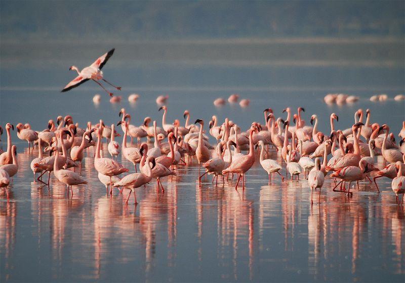 vários flamingos se banhando em lago